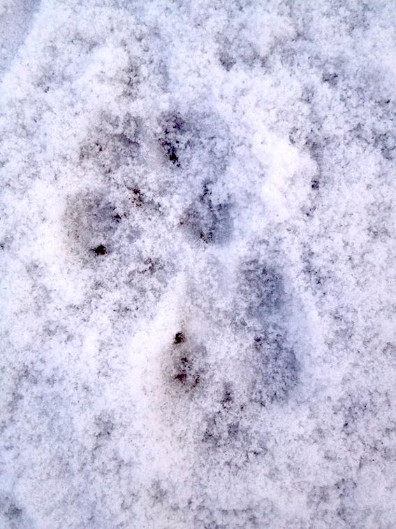 fox prints