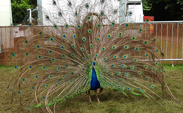 A peacock fanning its tail